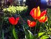 Tulips (Die kleine Meerjungfrau) Tags: gras grass wiese lichteinfall lights light sonnenlicht sunlight sunshine sonnenschein sonne sun backlighting gegenlicht alt old new neu iphone6 iphone diekleinemeerjungfrau kirchhof grün green parc park rot red nature natur pflanzen pflanze plants plant blumen blume flowers flower tulpen tulpe tulips tulip