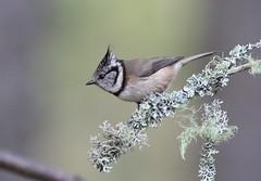 Crested Tit, (Lophophanes cristatus) (MarkWalpole) Tags: lophophanescristatus tit crestedtit lochgarten rspb scotland uk ef400mmf56lusm