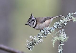 Crested Tit, (Lophophanes cristatus)