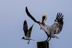 Pelican and Laughing Gull (Bcpix.com) Tags: florida flight birds