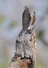 Mãe-da-Lua / Common Potoo (anacm.silva) Tags: mãedalua urutau commonpotoo potoo ave bird wild wildlife nature natureza naturaleza birds aves pantanal brasil brazil nyctibiusgriseus coth5