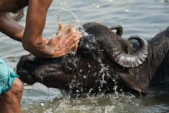 Le bain des buffles (Jacques GUILLE) Tags: buffle buffledasie buffledeau gange bénarés fleuve hindouisme uttarpradesh varanasi गंगा वाराणसी inde