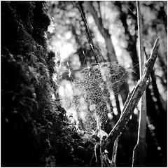 Forest Bokeh (Julie (thanks for 9 million views)) Tags: web bokeh bw monochrome iphonese squareformat tinternwoods wexford ireland irish hmbt