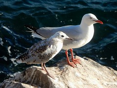 Mother and Chick (mikecogh) Tags: stanley seagulls mother chick young brown rock speckled