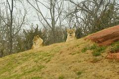 Two lionesses on the hill (radargeek) Tags: lion lioness 2018 okczoo oklahomacity zoo february