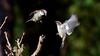 DSC_4552 (sylvettet) Tags: 2018 moineaux sparrows envol actionshot coth5