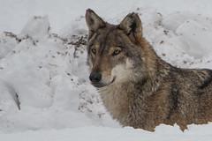 Lupo - Canis lupus (Alberto Piselli) Tags: lupo centrofaunisticouominielupientracque