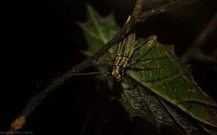 Temnosternus planiusculus (dustaway) Tags: arthropoda insecta coleoptera cerambycidae lamiinae temnosternus longicornbeetle australianbeetles australianinsects rainforest rotarypark rprr lismore nature northernrivers nsw australia rotary park reserve rotaryparkrainforestreserve