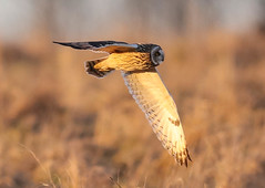 Short Eared Owl Asio flammeus 182-1 (cwoodend..........Thanks) Tags: gloucestershire hawling shortearedowl shortie owl raptor wildlife asioflammeus seo hunting quartering