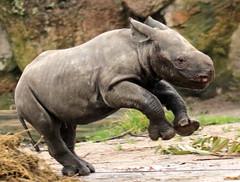 black rhino Blijdorp BB2A8576 (j.a.kok) Tags: rhino rhinoceros blackrhinoceros zwarteneushoorn neushoorn babyneushoorn neushoornkalf rhinocalf calf kalf africa afrika animal blijdorp mammal zoogdier dier herbivore naima blijdorpzoo
