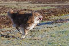 run like the wind 2/52 (sure2talk) Tags: runlikethewind tasku finnishlapphund run action motion newforest nikond7000 nikkor70300mmf4556afsifedvr we1412018 52weeksfordogs 252