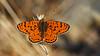 Spotted Fritillary - Melitaea didyma (jaytee27) Tags: spottedfritillary bulgaria melitaeadidyma naturethroughthelens