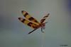DSC_6999 ~ Dragonfly (stephanie.ovdiyenko) Tags: dragonfly florida floridawetland insect halloweenpennant halloweenpennantdragonfly