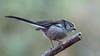 Long-tail (pstani) Tags: aegithaloscaudatus brentwood england essex essexwildlifetrust europe greatbritain warley warleyplace wildlifetrust bird fauna longtailedtit tit