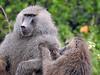 Baboon female grooming male (David Bygott) Tags: africa tanzania natgeoexpeditions 171230 lake manyara lmnp baboon social behavior groom