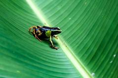 Madagascar-3015-_DSC2593 (beppevig) Tags: madagascar africa animali animals wild frog rana