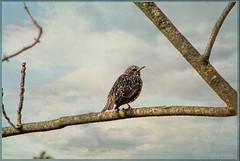 22 gennaio 2018, parco della Caffarella, uno storno solitario (adrianaaprati) Tags: bird wildnature branches park tree outdoor alone sky starling