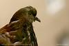 Thoughtful (srkirad) Tags: pigeon bokeh depthoffield blur manual jupiter 37a closeup macro dof eye feathers look