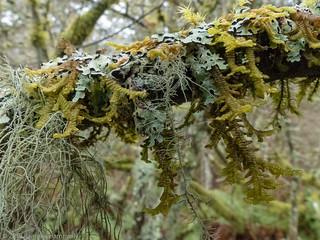 Fresh Moss (Liverwort) and Lichen