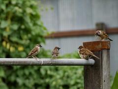 Curious birds #bird #telephoto #olympus #panasonic #gf7 #street (chaninsajjanukool) Tags: bird telephoto olympus panasonic gf7 street