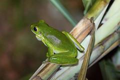 Pelodryadidae: Nyctimystes infrafrenatus infrafrenatus (White-lipped Tree Frog, Giant Tree Frog) 6 (Kristof Zyskowski and Yulia Bereshpolova) Tags: hylidae pelodryadidae nyctimystes infrafrenatus whitelippedtreefrog gianttreefrog indonesia rajaampat waigeo newguinea