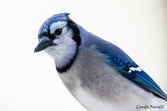 Blue Jay (londa.farrell) Tags: 2018 bluejay canada canon canondslr canoneos7dmarkii dslr january jay novascotia bird birds cold daytime nature outdoor snow songbird wildlife winter