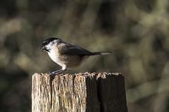 Soaking Up The Sun (Fourteenfoottiger) Tags: coaltit khaki bokeh dof depthoffield bird wildlife wildbird sunshine weather post fence singing