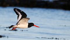 Oystercatcher in flight. (Chris Kilpatrick) Tags: chris canon canon7dmk2 outdoor wildlife nature water irishsea sea animal bird oystercatcher springwatch douglas isleofman flight
