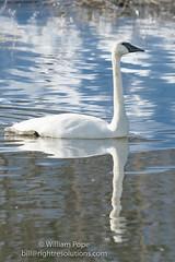BHP08068 (GabriolaBill) Tags: swan swans bird birds nelder pond gabriola island gabriolaisland bc british columbia canada salish sea salishsea nature wildlife birdlife water sony a7r2 a7rii a7rm2 a7rmii 100400mm gm gmaster