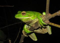 White-lipped Tree Frog (Litoria infrafrenata) (Heleioporus) Tags: whitelipped tree frog litoria infrafrenata near cooktown queensland