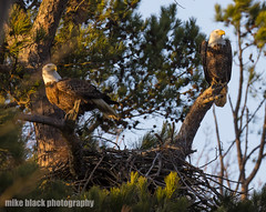 Bald Eagle nesting pair see full size (Mike Black photography) Tags: bald eagle bird birding nature sky trees nest new jersey shore canon 5ds 800mm photo photography nj shark river mike black february 2018 life