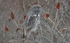 Hunting from the Sumac (hd.niel) Tags: greatgrayowl owls winter nature wildlife photography ontario phantomofthenorth hunting voles