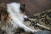 Collie Ennui (~ Liberty Images) Tags: ben benedict collie dog sable pet canine roughcollie