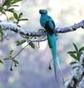 Resplendent Quetzal male / Quetzal resplendissant male / Pharomachrus mocinno ( Serie 1 / 3 ) (ricketdi) Tags: birdofcostarica resplendentquetzal quetzalresplendissant pharomachrusmocinno coth5 ngc naturethroughthelens npc sunrays5