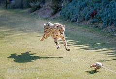 DSC00229 (montusurf) Tags: zoosofnorthamerica cheetah run fast speed cat feline predator running san diego california zoo safari park chase