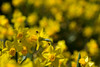 Absorbing the Spring sun (Irina1010) Tags: flowers daffodils yellow closeup bokeh fly sunny light nature spring 2018 canon outdoor garden coth5 ngc npc