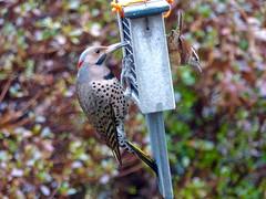 Dining with a Friend (WRFred) Tags: bird wildlife backyardwildlife nature feeder maryland montgomerycounty washingtonwestquad woodpecker wren