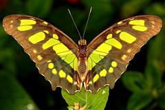 Malachite Butterfly (Darts5) Tags: malachite malachitebutterfly bug bugs butterfly butterflies green butterflymacromacrosmacro7d27d mark ll7d ii7d2 canonef100lclose upcanon7d2canon 7d llcanon iicanoncanon ef 100 lup closeinsectinsectstropical