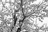 mandorlo (enrico sprea) Tags: mandorlo fiori albero primavera fioritura santommaso valmadrera proviciadilecco lombardia italia montagna sentiero bwartaward biancoenero blackandwhite allaperto pentaxlife cielo prealpilariane prealpi prato agricoltura frutti controluce rami tronco petali triangololariano trekking cammino camminare camminata legno monocromo