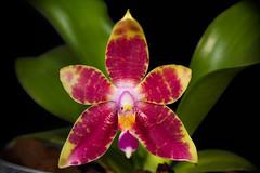 Phal. Princess Kaiulani (david.richter) Tags: phalaenopsis phal princesskaiulani primaryhybrid novelty hybrid amboinensisxviolacea fragrance scented orchids orchid flower blooms