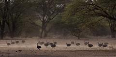 Helmeted Guineafowl on the March (liam.ragan) Tags: bird birds pajaro pajaros oiseau oiseaux guineafowl flock
