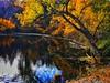 Calling All Ducks! (lindayaecker) Tags: autumncolors reflections sunnyday blueskies trees ponderosahills prettypond feedingtheducks