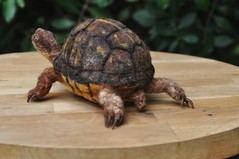 Needle felted box turtle (daria.lvovsky) Tags: needlefelted needlecraft turtle felted fiberart