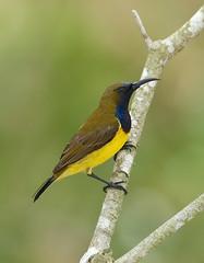 Olive-backed Sunbird-----Cinnyris jugularis (creaturesnapper) Tags: sunbirds singapore asia birds olivebackedsunbird cinnyrisjugularis