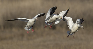 Snow Geese finding a place to land in the marsh