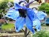 Delphinium maackianum (Ranunculaceae) (University of Tartu Botanical Gardens, 20170702) (RainoL) Tags: crainolampinen 2017 201707 20170702 blue botanicalgarden botany clr delphinium delphiniummaackianum estonia flower flowers fz200 garden geo:lat=5838392923 geo:lon=2672126055 geotagged july kesklinn maackikukekannus plant plants ranunculaceae summer tartu tartuülikoolibotaanikaaed tartumaa universityoftartubotanicalgardens est