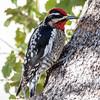 Red-Naped Sapsucker (Ed Sivon) Tags: america canon nature lasvegas wildlife wild western southwest desert clarkcounty clark vegas bird woodpecker nevada park