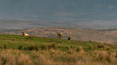Point Reyes Tule Elk (runcolt12) Tags: elk tuleelk pointreyesnationalseashore california californiacoast sanfrancisco pacificcoasthighway pacificocean winter nikon d800e