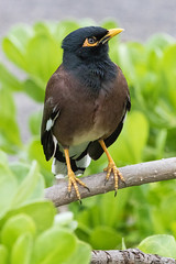 4_-2799 (ericvdb) Tags: bird myna hawaii maui