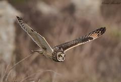 Short Eared Owl, Dorset, UK (conrad_hanchett) Tags: shorty shortearedowl owl dorset nikond500 sigma150600sport naturephotography sigma asioflammeus